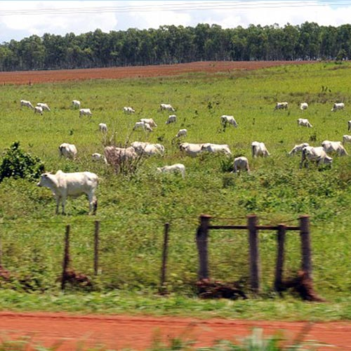 Vacas e carros